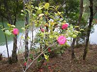 ツバキの花弁