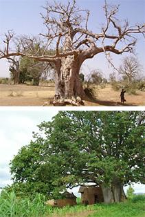 100種類もの用途に使われる、奇跡の木