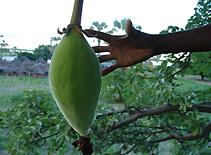 バオバブの木の実