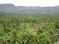 肥沃な火山灰土で育つココナッツ