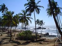 海水を好むココナッツ