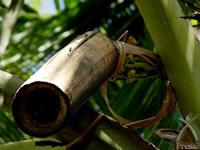 竹を使い花序から蜜液を集める