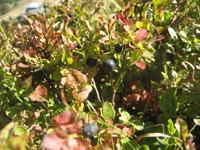 ブルーベリーのアップ。8月下旬。ほとんど収穫も終わりの頃でした。