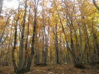 イタリア中部・トスカーナ。プラトマーニョの山中にビッビアーノの栗の森があります。彼の先祖が栗を植え、それが継承され今は立派な森になっているそうです。