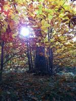 栗の大木。ご先祖様が植えた栗の木。300年以上の樹齢があるとのこと。