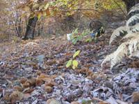森の下は栗のイガでびっしり。こんな風にごろごろ〜〜自然の恵み!
