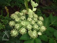 有機明日葉粉末:明日葉の花
