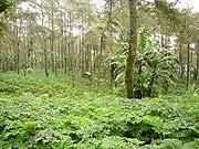 まるでジャングルみたい??一面緑に覆われたアシタバ畑
