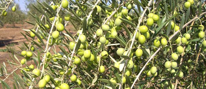 バリアーニオリーブオイルの原料