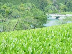 べにふうき:茶畑イメージ