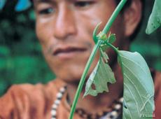 古代より珍重されたアマゾンの奥地に生育する樹木「キャッツクロウ」