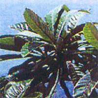 びわ種健康粒剤:ビワの葉