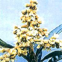びわ種健康粒剤:ビワの花