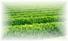 農薬不使用有機栽培煎茶