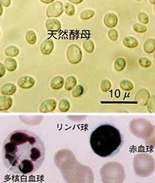 第一酵母のコーボン(COBON):COBONの天然酵母と血球顕微鏡写真