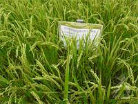 佐賀県特別栽培農作物生産圃場であることを示す看板
