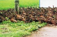 井手さんのお米:アイガモ農法