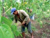 インカインチ・バージンオイル:栽培