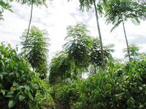インカインチ・バージンオイル:アグロフォレストリー