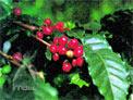 コーヒーの赤い果実