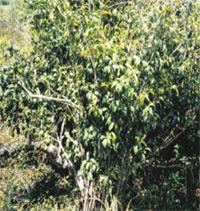 コタラヒンブツ自然木