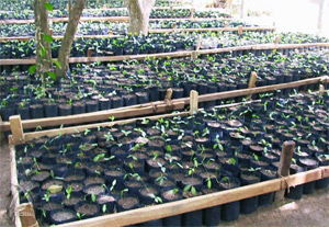 芽を出したコタラヒンブツの苗木を植林予定地へ運び植え付けます。