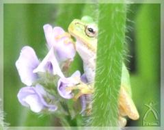 大豆の花とカエルくん