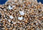 上手に炒れた小麦はポンとはじけて綿の花のように麦の花が咲きます。