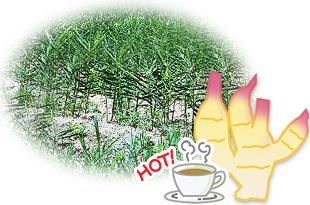 有機生姜畑