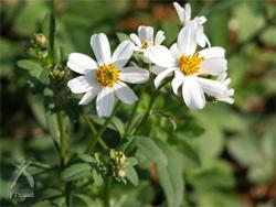 宮古ビデンス・ピローサ:可憐な白い花