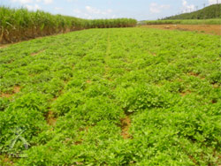宮古ビデンス・ピローサ:農薬不使用・無化学肥料、緑肥のみで栽培