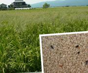佐賀県白石町の岩永さんの自然栽培米
