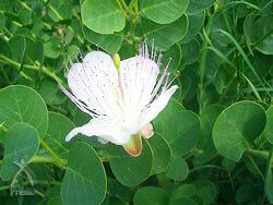 つぼみを取らずにおいておくと開花。可憐な花