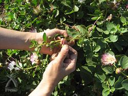 一粒一粒手で摘む 先端に付いた7〜10粒小さいのも 大きいのも全て摘む