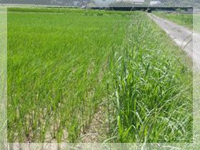 田植えからしばらく経った頃の稲の様子。まだ畦(あぜ)の草の方が勢いがありますね。