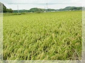 「ほそーく」植えられた稲も、力強く根を張り、見事な黄金の稲穂をたわわに実らせます。