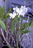 月のしずく:4年以上も咲き続ける蘭