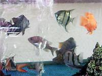 月のしずく:「金水」と「銀水」をブレンドした水で飼育されている熱帯魚たち。とっても元気です!