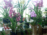 月のしずく:「金水」と「銀水」を与えられ、美しく咲き誇る数々の蘭。