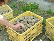 自家採種による種芋。