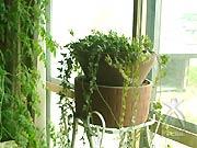 トマトとタマネギが芽を出した鉢。