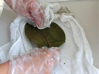 柿の葉を一枚一枚丁寧に人の手で拭き、キレイにしていきます。