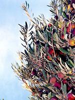 カサブ石鹸:オリーブの木