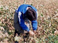 和紡布:綿の手摘み