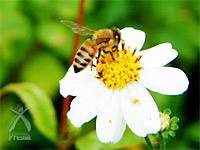 サンゴベース・コーラルライフ:花粉は貴族にも珍重されていた