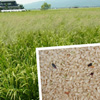 九州産玄米 佐賀県白石町の岩永さんの自然栽培米