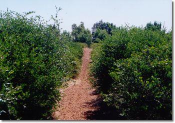 ホホバ畑の道