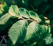 アカニレの樹皮
