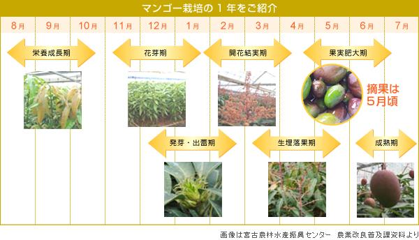マンゴー栽培の1年をご紹介