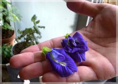 工房裏の畑で採れるバタフライピーの花からは青色の麺が生まれます
